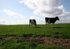 Vacas Prado