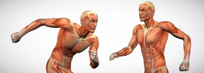 Composición muscular del hombre