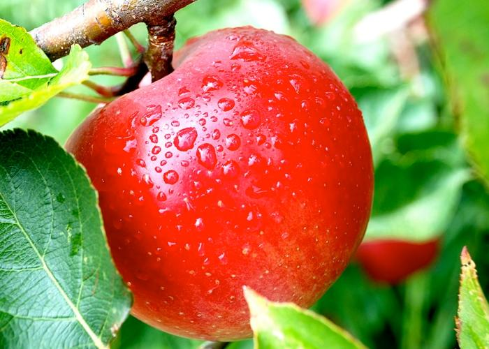calorias de una manzana chica