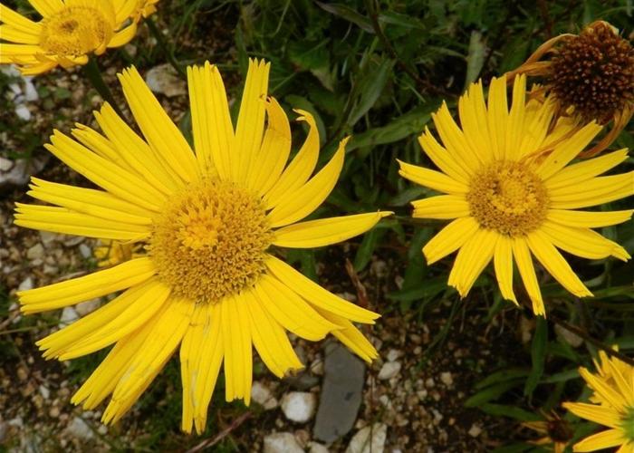 Árnica montana, planta para aliviar dolores