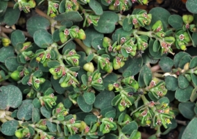 Euphorbia serpens