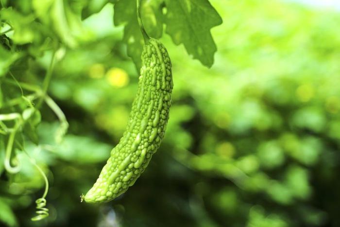 Planta melón amargo